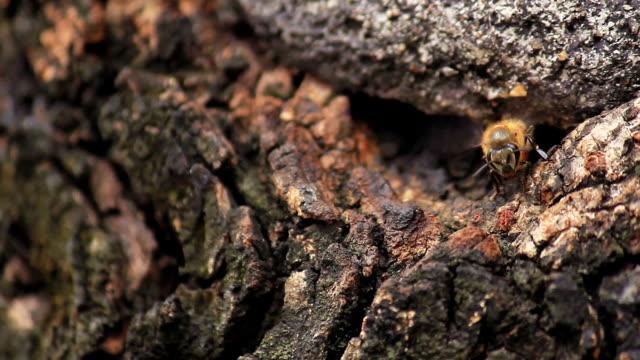 ape lavorando in cavo di albero - torace animale video stock e b–roll