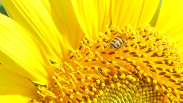 Bee working on sunflower. video