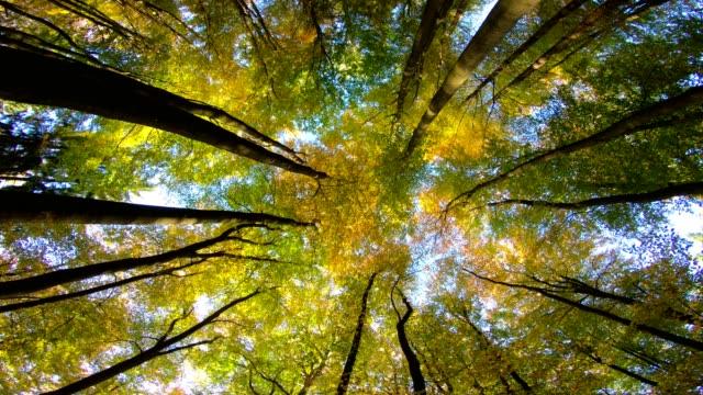 Beech forest, beech woods, fagus, Buchenwald, laubwald, deciduous forest, wood, beech leaves, autumn,  Spessart, bavaria, 4K – film