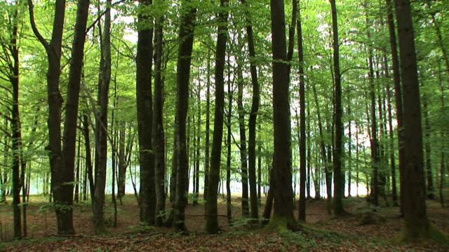 HD: Beech forest video