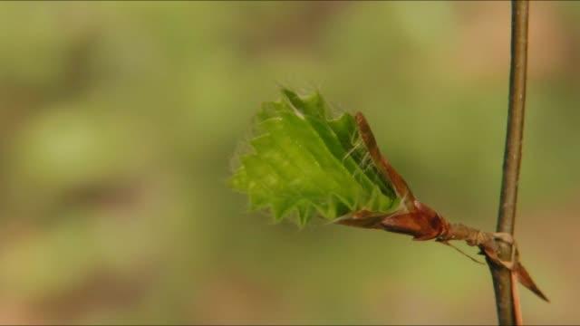 Beech leaf unfolds in timelapse – film