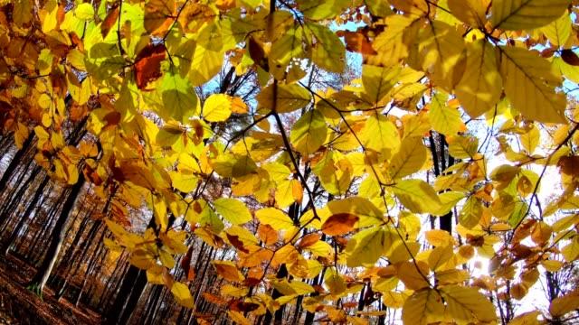 Beech leaves in autumn, beech tree, forest, autumn, indian summer, Spessart, bavaria, 4K video
