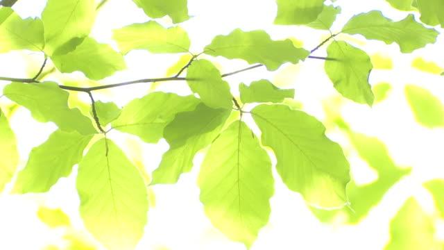 Beech liści w promienie słoneczne Zmienianie ostrości – film