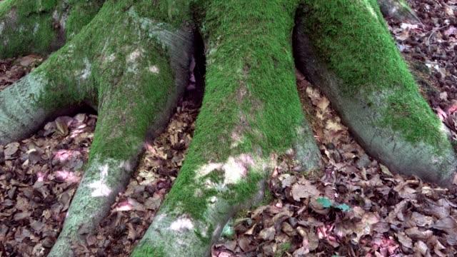 Beechwood, fagus, trunk, bark, root, Naturpark, Spessart, Buche, 4 K – film