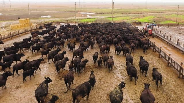 vídeos de stock e filmes b-roll de beef bulls on the farm. breeding animals, livestock. view from above - beef angus