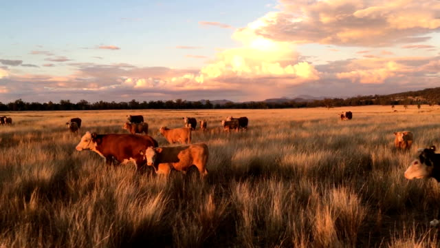 Beef cattle at dusk Herd of grass fed beef cattle sunset in rural NSW Australia  grazing paddock stock videos & royalty-free footage