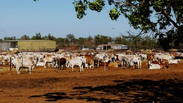 beef cattle for export