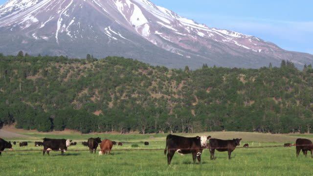 Beef cattle grazing in green organic pasture