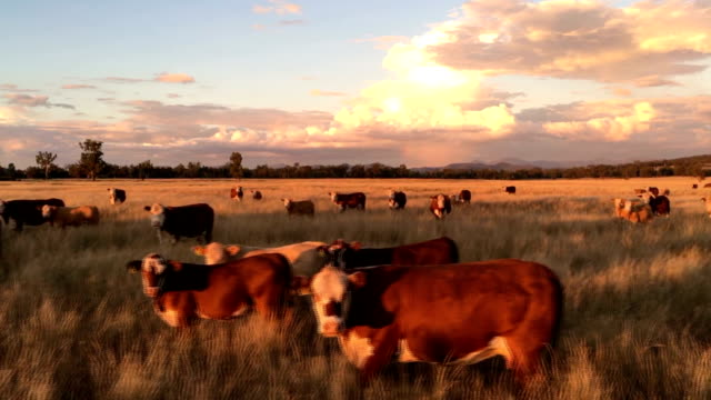 beef cattle grazing on grass - ранчо стоковые видео и кадры b-roll