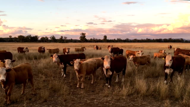 Beef cattle grazing video