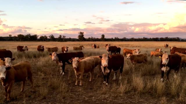 vídeos de stock e filmes b-roll de beef cattle grazing - rancho quinta