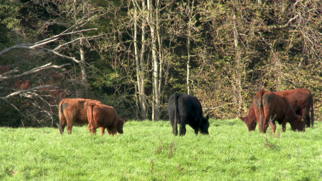 Beef cattle in a field in Dumfries and Galloway 4K footage shot at 50fps and interpreted at 25fps to give slow motion dumfries and galloway stock videos & royalty-free footage