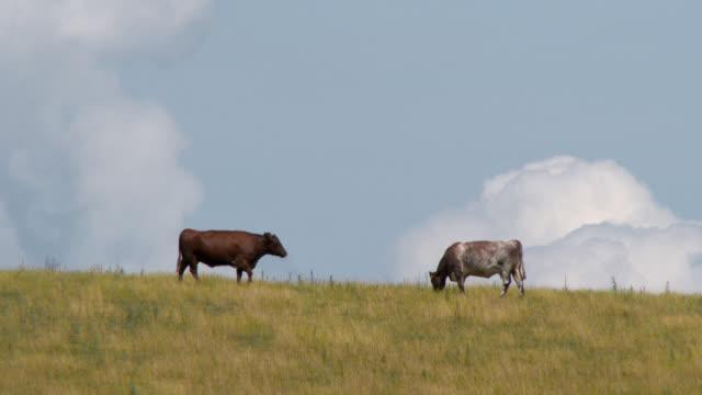 남쪽 서쪽 스코틀랜드 필드에 쇠고기 가축 - 암소 스톡 비디오 및 b-롤 화면