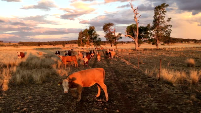 beef cattle in the afternoon sun - animale femmina video stock e b–roll