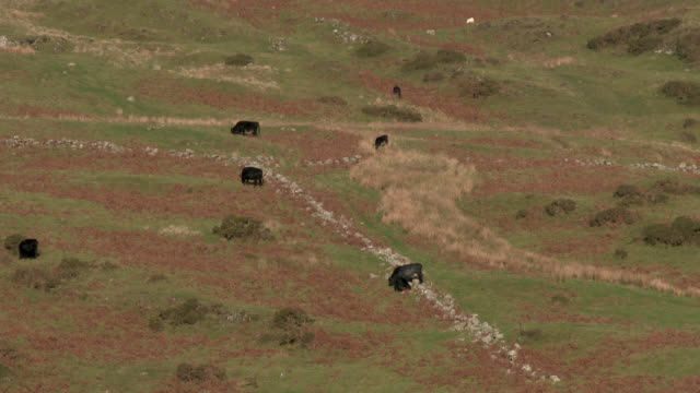 Beef cattle on a remote Scottish hillside 4K footage shot at 50fps and interpreted at 25fps to give slow motion dumfries and galloway stock videos & royalty-free footage