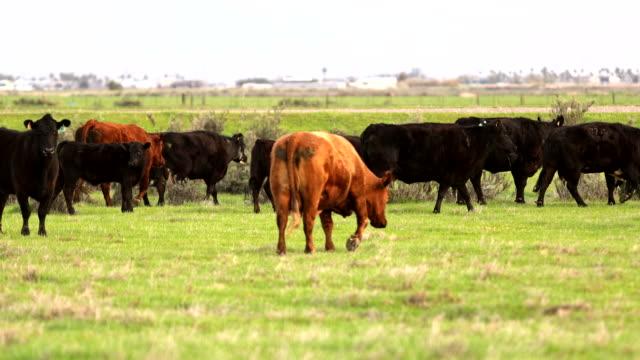 stockvideo's en b-roll-footage met rundervee open bereik op grote ranch - westelijke verenigde staten