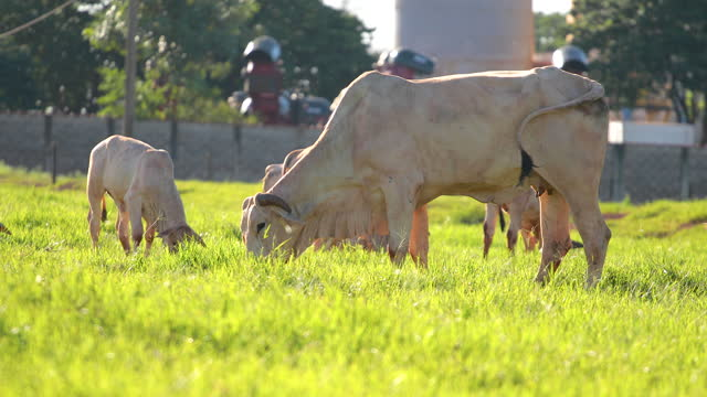 beef cow in the field and green pasture video