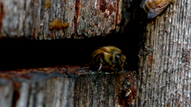 Beehive activity CU of bees at a beehive entrance in soft light. arthropod stock videos & royalty-free footage