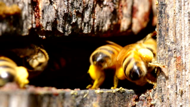 Beehive entance CU Extreme close up of bees entering and exiting beehive, no audio. arthropod stock videos & royalty-free footage