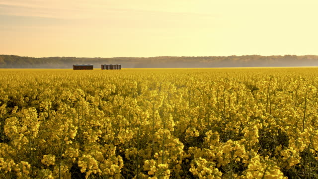 DS Beehives in the canola field Dolly shot of beehives in the middle of a field of blooming canola. Also available in 4K resolution. monoculture stock videos & royalty-free footage