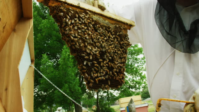 A Beekeeper Wearing a Beekeeping Veil and Gloves Removes a Frame from a Beehive Outdoors