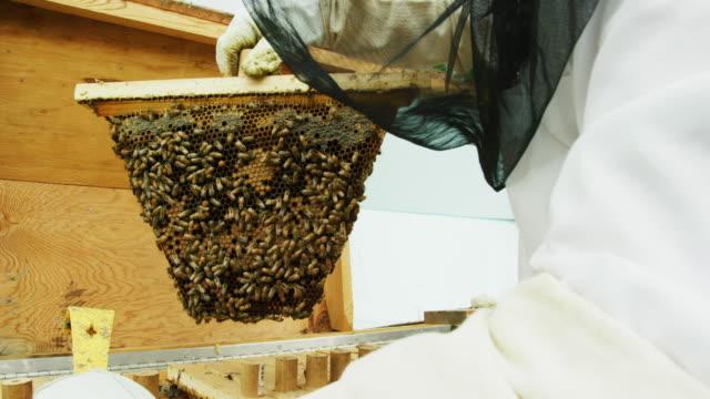un apicoltore che indossa un velo da apicoltura e guanti rimuove una cornice da un alveare all'aperto - apicoltura video stock e b–roll