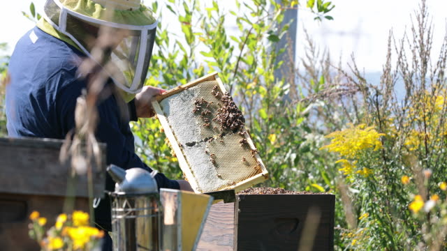 Beekeeper Working and Inspecting Hive video