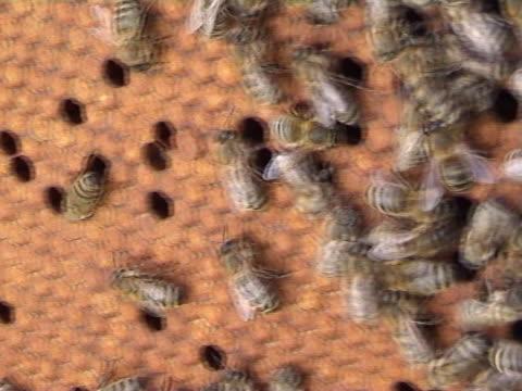 vídeos y material grabado en eventos de stock de abejas 001 - insecto himenóptero