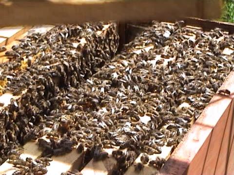 vídeos y material grabado en eventos de stock de abejas 002 - insecto himenóptero