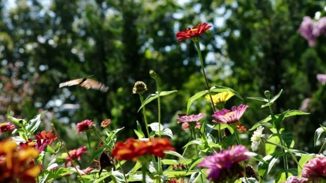bin och fjärilar pollinerar blommor i en trädgård. - pollinering bildbanksvideor och videomaterial från bakom kulisserna