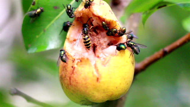 Bees and flies flocking on rotten fruit video