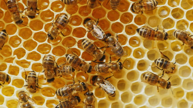 bees are processed nectar to honey. on honeycombs with honey - alveare video stock e b–roll