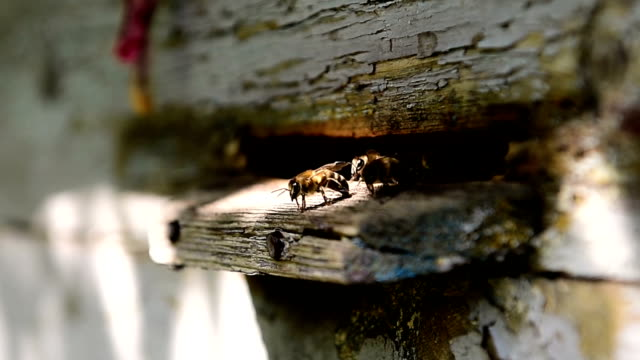Bees at front hive entrance. close up. video
