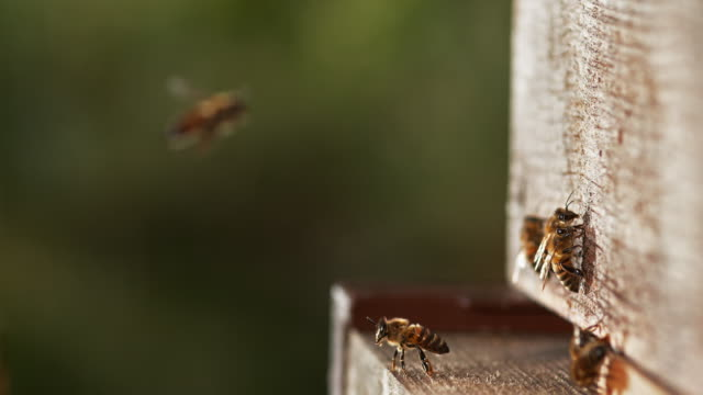 Bees  at the Entrance of The Hive video
