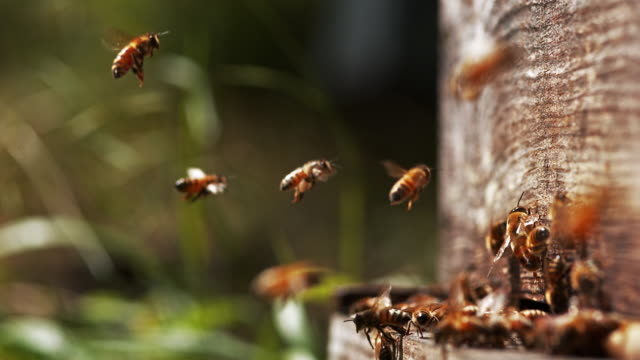 bees  at the entrance of the hive - alveare video stock e b–roll