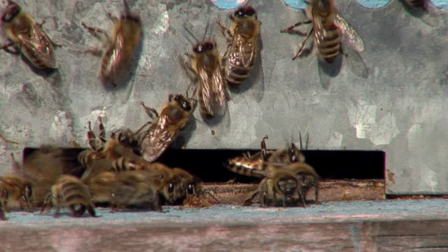 bees at the hive entrance - ape regina video stock e b–roll