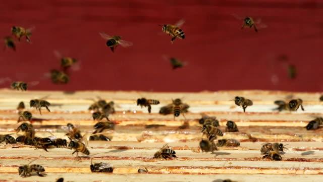Bees, beehive video