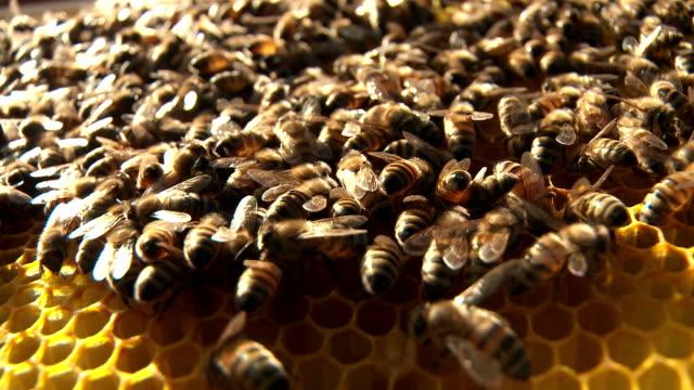 bees primo piano - ape operaia video stock e b–roll