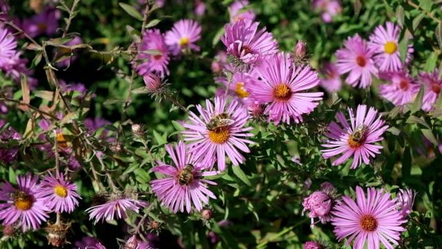vídeos y material grabado en eventos de stock de las abejas recogen polen en flores rosas. - insecto himenóptero