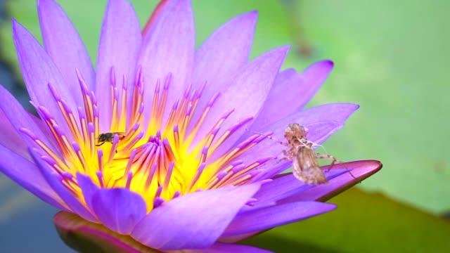 vídeos y material grabado en eventos de stock de abejas encuentran dulce en el polen de flor de loto rosa que florece en el estanque y manchas de insectos - insecto himenóptero