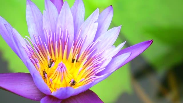 arılar mor lotus çiçek polen üzerinde tatlı bulmak - andaman denizi stok videoları ve detay görüntü çekimi