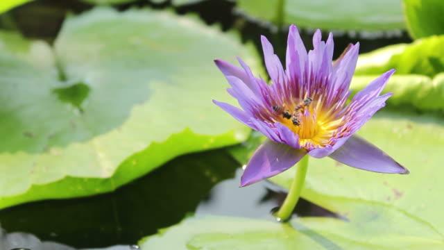 stockvideo's en b-roll-footage met bees fly into the purple lotus - arthropod