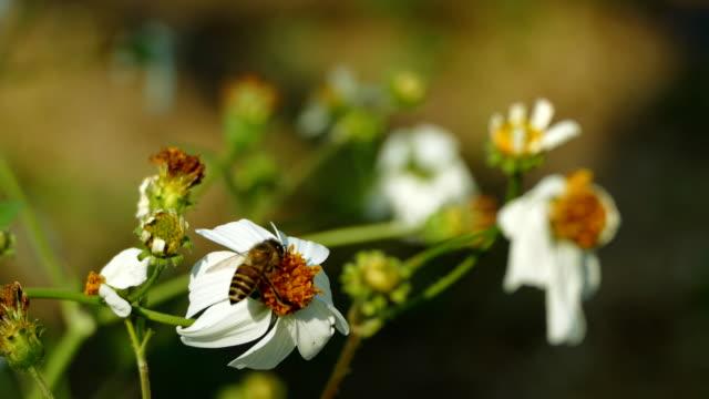 Bienen fliegen, blühende Blume – Video