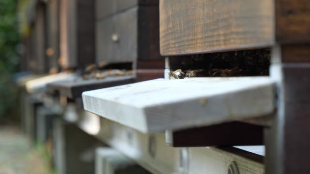 Bees flying around beehives.