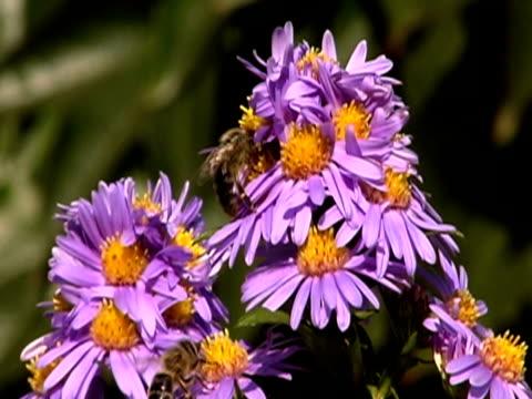 bees volare su fiori, ntsc - stame video stock e b–roll