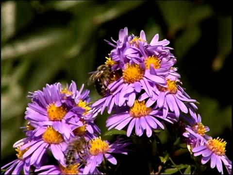 bees volare su fiori, pal - pistillo video stock e b–roll