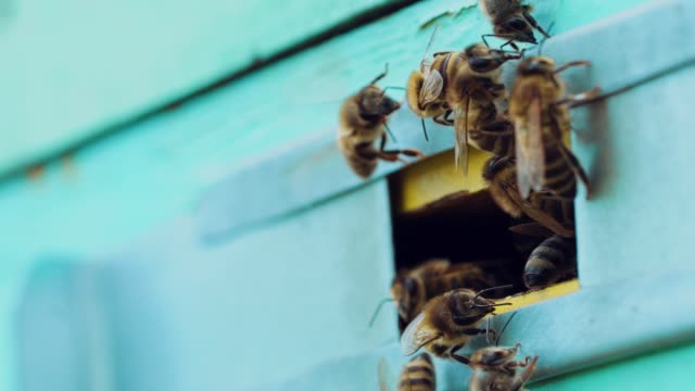 Bees flying out of the hive in summer, sunny day to nectar.