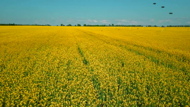 Bees flying over yellow field of ripe rapeseed on summer day Bees flying over yellow field of ripe rapeseed on summer day monoculture stock videos & royalty-free footage