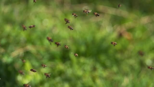 vídeos y material grabado en eventos de stock de abejas van a la colmena, insectos en vuelo, - bee