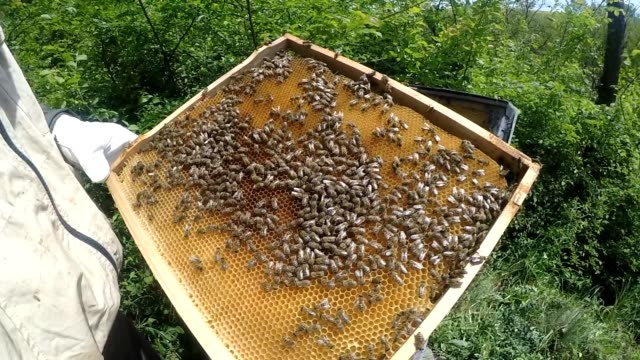 bees in apiary - ape regina video stock e b–roll